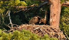 Benbow Eaglet Faces Close Call With Fire
