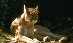Caution Urged After Mountain Lion Spotted at CR