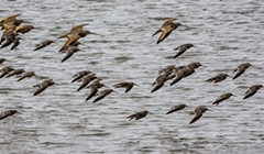 Godwit Days Are Here Again