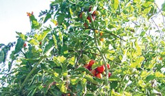Humboldt Homegrown Tomatoes
