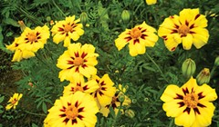 Not Your Grandma's Marigolds