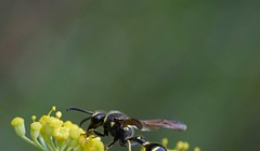 Fall Wasps