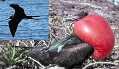 Magnificent Frigate Birds