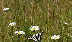 HumBug: Back to the River for Swallowtails and Sawflies