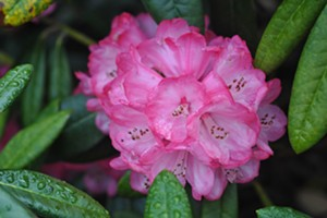 Birds & Bees Educational Series - Rhododendrons
