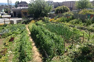Arcata Community Wellness Garden Drop-In Volunteer Time