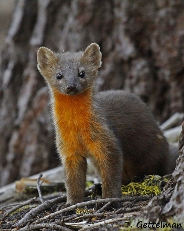 Humboldt Martens Granted Threatened Species Status
