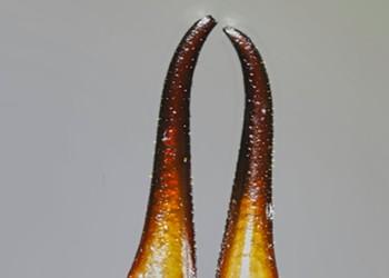HumBug: Earwigs