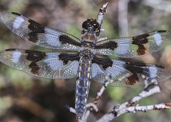 HumBug: Dragonflies Remembered