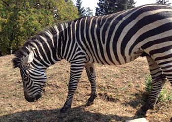 One of Petrolia's Zebras Fatally Shot