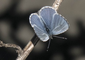 HumBug: A March of Butterflies