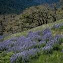 Photos: Lupine Bloom Boom