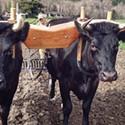 Team Oxen