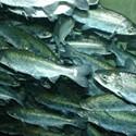 Yurok Tribe Blames Feds for Salmon Die-Off