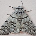 HumBug: A Moth of Another Color