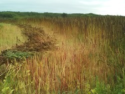PHOTO BY STEVEN SAINT - The quinoa field Blake Richard farms in Loleta.