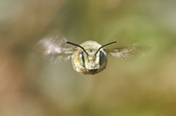 PHOTO BY ANTHONY WESTKAMPER - A hovering bee, head on.