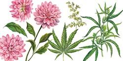 SHUTTERSTOCK - Dahlias and cannabis