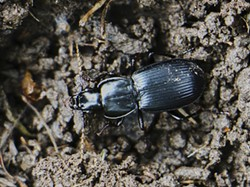 PHOTO BY ANTHONY WESTKAMPER - A pterostichus beetle uncovered when I overturned a rock.