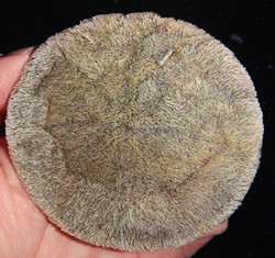 PHOTO BY MIKE KELLY - The surface of a sand dollar.
