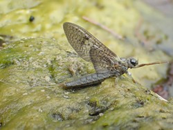 PHOTO BY ANTHONY WESTKAMPER - A mayfly specimen native to the Van Duzen River.