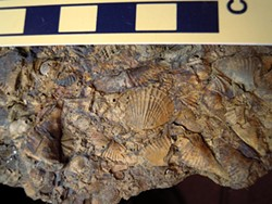 PHOTO BY MIKE KELLY - Fossil Devonian brachiopods from West Virginia.