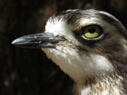 Bush thick-knee - Uploaded by Denise Seeger