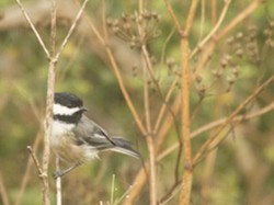 Black-capped Chickadee - Uploaded by Denise Seeger