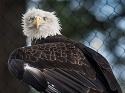 One of the two bald eagles at the Sequoia Park Zoo. Photo credit Greg Nyquist.