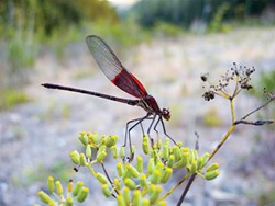 PHOTO BY ANTHONY WESTKAMPER - This American rubyspot led me a merry chase on a busted ankle.
