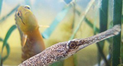 PHOTO BY MIKE KELLY - A bay pipefish and penpoint gunnel in the marine lab.