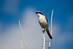 Loggerhead Shrike - Uploaded by hbnwr
