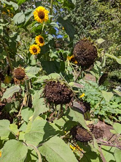 PHOTO BY JULIA GRAHAM-WHITT - Sunflowers going to seed for the birds.