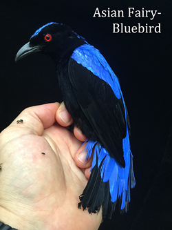 Asian Fairy-Bluebird is found in forests across tropical southern Asia, Indochina, the Greater Sundas and Palawan - Uploaded by Denise Seeger