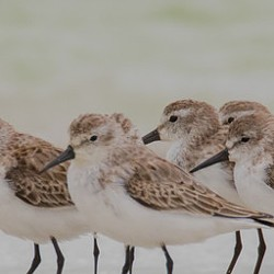 Willet, Dunlin and Western Sandpiper - Uploaded by hbnwr