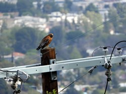 Red-shouldered Hawk on a power pole - Uploaded by hbnwr