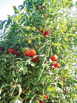 worms-eye view of a Handi-mesh tomato tower.