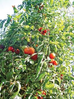 worms-eye view of a Handi-mesh tomato tower.