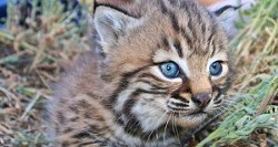 26c82695_bobcat-kitten-flikr-300x160.jpg