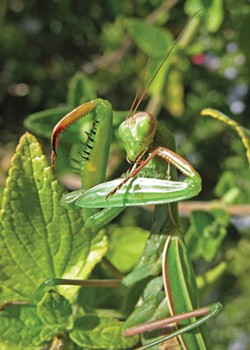 PHOTO BY ANTHONY WESTKAMPER. - A mantis sharpens her knives.