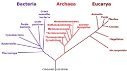 Phylogenetic Tree of Life by Eric Gaba of the NASA Astrobiology Institute.