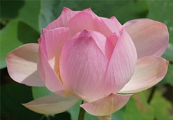 f5e0d63f_lotus2.jpg