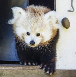 COURTESY OF THE SEQUOIA PARK ZOO. - Masala was one of two red panda cubs born to Stella Luna and Sumo at the zoo in July of 2014.