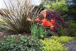 PHOTO BY GENEVIEVE SCHMIDT - Joy-sparking tulips in the garden of Tina Rousselot.