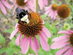 PHOTO BY HEATHER JO FLORES - A bee rests on an echinacea flower.