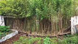 PHOTO BY DREW HYLAND - Fences can be casualties in the war against advancing bamboo.