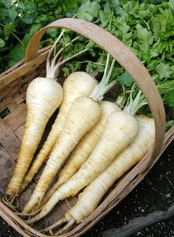 PHOTO COURTESY RENEESGARDEN.COM - 'Gladiator' parsnip.