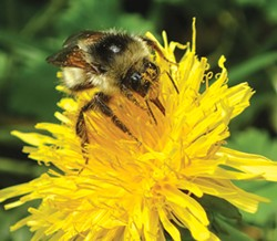 PHOTO BY ANTHONY WESTKAMPER - A honeybee going to town on dandelion pollen.