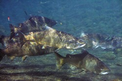 Chinook salmon swim in the Mattole River. Photo courtesy of Thomas Dunklin