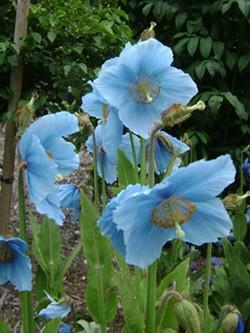 045785e1_hbg1_blue_poppy_meconopsis_lingholm_.jpg